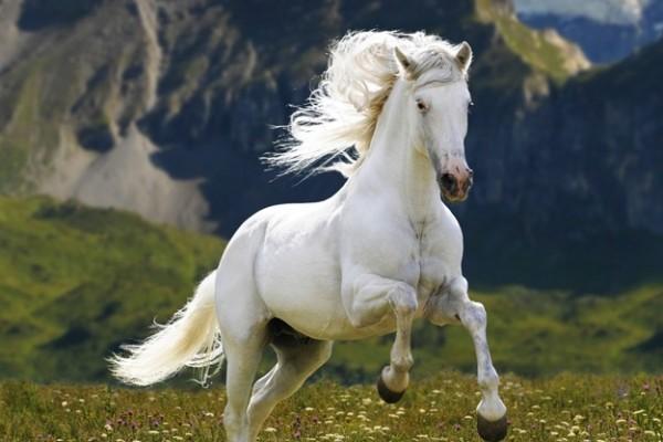 kosan-beyaz-at